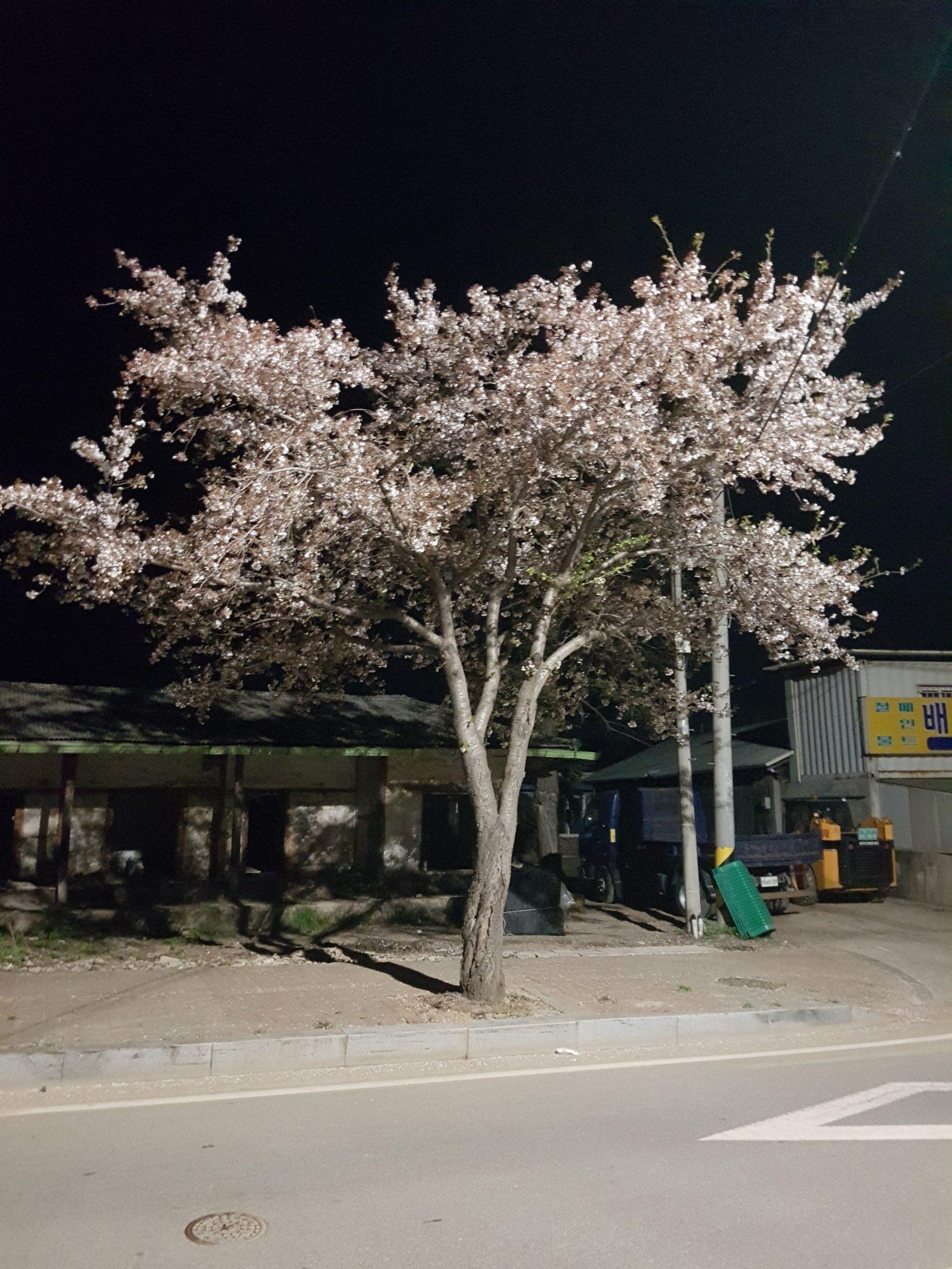 Daily – 벚꽃